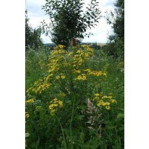 natürliche Wildblumenwiese /Das Jakobs- Graskraut