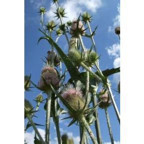 natürliche Wildblumenwiese /Wilde Karde