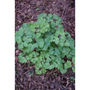 Akelei /Heilpflanze Aquilegia