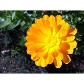 Blumen /Ringelblume