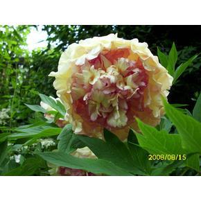 Blühpflanzen /Baumpäonie